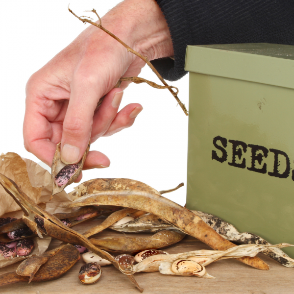 hand removing beans from pod with box labeled seeds to side